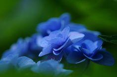 あじさい (紫陽花) /Hydrangea macrophylla