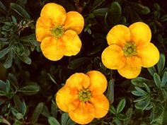 Potentilla, Mango Tango (Potentilla fructosa 'Mango Tango') Mango-orange and red bi-colored flowers on a plant with dense and compact growth. The flower color is best during the cool periods of spring and autumn and will fade to yellow in the summer. A great little plant for the perennial border. 2-3' x 2-3'