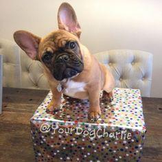 Charlie the Frenchie, French Bulldog, #yourdogcharlie on instagram.