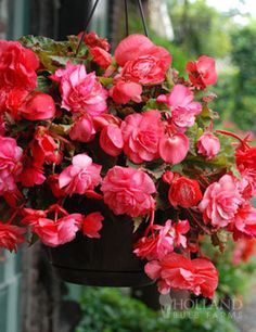 Now you can add beauty and fragrance to your hanging baskets! Pink Delight Double Hanging Basket begonias are certain to delight this coming summer. Its blooms boast of a sweet lemony rose scent and a gorgeous deep pink hue. This easy growing variety has fully double blooms that will adorn your porch or patio from summer until the first frost.