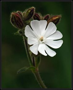 An abundance of beauty! - White Campion - Pixdaus