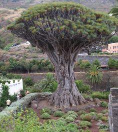 Drakenbloedboom, Canarische Eilanden