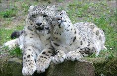 Snow leopards. More