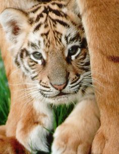 a1a69647c 123 Best Baby tiger faces images in 2019 | Animals beautiful, Cut ...