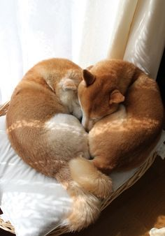 Shiba Inu puppies/doggies sleeping in a heart shaped hug ♥ 💟 ♥ Shiba Inu, Akita Inu Puppy, Shiba Puppy, Animals And Pets, Baby Animals, Funny Animals, Cute Animals, I Love Dogs, Puppy Love
