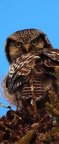 Northern Hawk Owl - by Dan King