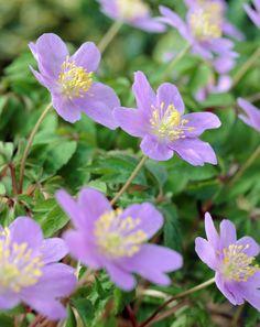 Wood anemone 'Robinsoniana' • Anemone nemorosa 'Robinsoniana' • Wood crowfoot 'Robinsoniana' • Nightcaps 'Robinsoniana' • Plants & Flowers • 99Roots.com
