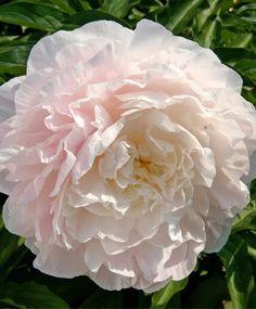 Peony Moonstone - Herbaceous Peonies - Flower Bulb Index