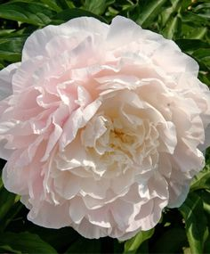 Peony Moonstone - Herbaceous Peonies - Flower Bulb Index