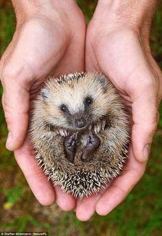 An orphan hedgehog in Sweden