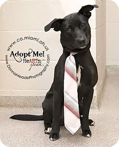 URGENT!  I am at a kill shelter in Troy, OH - Labrador Retriever/Pit Bull Terrier Mix. Meet Toby, a dog for adoption. http://www.adoptapet.com/pet/10921453-troy-ohio-labrador-retriever-mix