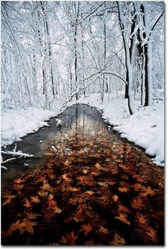 Oak leaves in stream with snowy forest, Minnesota - Nature/Landscape Pictures Winter Szenen, I Love Winter, Winter Magic, Winter Coming, Winter Wonderland, Snowy Forest, Snowy Woods, Oak Leaves, Autumn Leaves