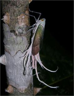 Wax-tail hopper (Pterodictya reticularis), family Fulgoridae, Peruvian Amazon, the host tree, Ceiba cf pentandra