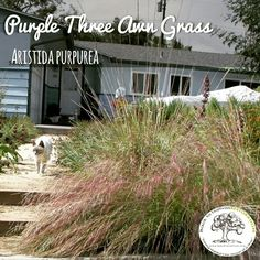 Even kitties like purple three awn grass. But remember to keep your cat inside so that it doesn't eat all of the birds garden because of the native plants!