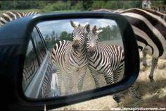 """""""La vanità è Zebra """"     #Kumbe #KumbeWeb #KumbeMarketing #ViralMarketing #SocialMarketing  http://www.immaginidivertenti.net/immagini-divertenti/immagini-divertenti-zebre.jpg"""