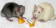 Florida Rat Community  Rats ARE Love, photo by Bella