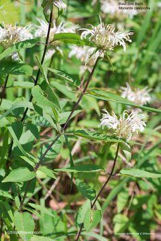 White Bergamot (Monarda clinopodia) | Native perennial, eastern USA, 3-4' H, full sun, blooms May-Sept, average water,  moisture retentive soil, attracts bees, butterflies &                                                  birds, zones 4-8