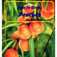 The peach is a semi-hardy deciduous woody perennial tree. A standard-sized peach tree will grow to 25 feet tall and just as wide if not pruned.