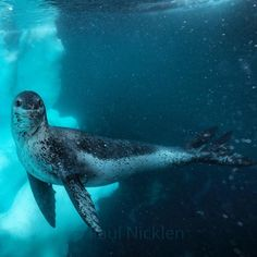 """Photograph by @paulnicklen taken while on assignment for @natgeo // Antarctica feeds my soul,…"""