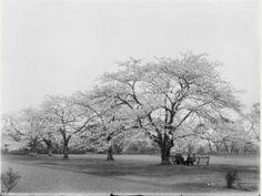 Botanical - Photo - Tree - Prunus yedoensis Japan - Colorized