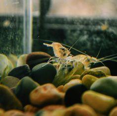Freshwater Shrimp in Aquaponics!