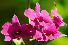 Dendrobium phalaenopsis or Cooktown Orchid, the floral emblem of Queensland #flora #gardens #green #valentinesday