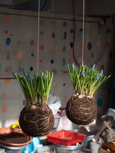 Must make kokedama with bulbs. So cute.