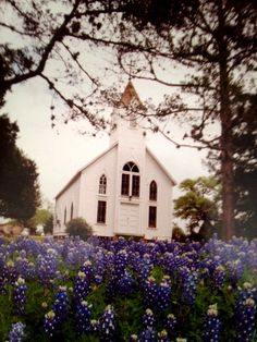 Bluebonnets and church