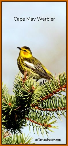 Cape May Warbler, RM Montmartre, SK, May 2019. Source: Anita Mae Draper Cape May, Wildlife, Birds, Blog, Photos, Animals, Image, Pictures, Animales