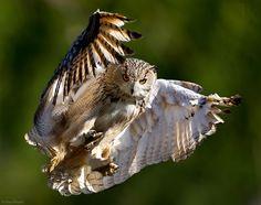 Photograph Phantom of the Opera by Max Rinaldi on Eurasian eagle owl. Owl Photos, Owl Pictures, Owl Bird, Pet Birds, Lechuza Tattoo, Nocturne, Eurasian Eagle Owl, Photo Animaliere, Great Horned Owl