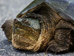 Snapping turtle eyeing me | Flickr - Photo Sharing!