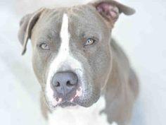 American Staffordshire Terrier dog for Adoption in Fort Lauderdale, FL. ADN-457473 on PuppyFinder.com Gender: Male. Age: Adult