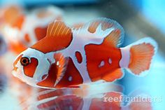 The Peace Keeper Maroon Clownfish is an exciting new strain of Premnas biaculeatus from Captive-Bred, an ornamental fish breeding company based in Israel. Saltwater Aquarium Fish, Saltwater Tank, Freshwater Aquarium, Marine Aquarium, Marine Fish, Colorful Fish, Tropical Fish, Fish Breeding, Underwater Creatures
