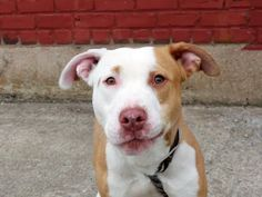 TO BE DESTROYED - 05/09/14 Brooklyn Center -P  My name is ROCKY. My Animal ID # is A0998011. I am a male tan and white pit bull mix. The shelter thinks I am about 11 MONTHS old.  I came in the shelter as a STRAY on 04/28/2014 from NY 10457, owner surrender reason stated was STRAY. https://www.facebook.com/photo.php?fbid=795211660491715&set=a.611290788883804.1073741851.152876678058553&type=3&theater
