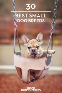 35 Small Dog Breeds That Make for Perfect Companions 35 Best Small Dog Breeds – List of Top Small Dogs with Pictures Best Small Dog Breeds, Best Small Dogs, Cute Small Dogs, Small Puppies, Best Dogs, Cute Dogs, Dogs And Puppies, Doggies, Dog Breeds List Of