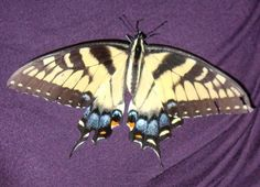Picture of a Swallow Tail Butterfly we rescued.