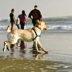 Actijoy (@actijoy) • #dog #dogs #dogshow #ocean #sea #labrador #actijoy #activedog #beach #familymembers #labradorretriever #sunset
