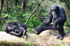 Ebola Fears Endanger Sierra Leone Chimpanzee Sanctuary   TakePart