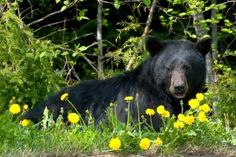 Black bear in a field of flowers