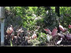 Roseate Spoonbills at Rip's Rookery at Jefferson Island Rip Van Winkle Gardens, New Iberia, Louisiana - YouTube