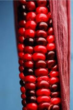 red corn--not a recipe, just a gee wiz I've never seen red corn before My Favorite Color, My Favorite Things, The Rouge, I See Red, Simply Red, Candy Apple Red, Red Aesthetic, Shades Of Red, Ruby Red