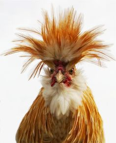 Chickens are the Coolest! Fancy Chickens, Chickens And Roosters, Chickens Backyard, Bantam Chickens, Farm Animals, Animals And Pets, Funny Animals, Cute Animals, Pretty Birds