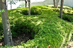 Evergreen azaleas as a  great suppressant of weeds!