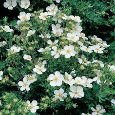 Potentilla fruticosa 'Abbotswood' - Cottage Garden Plants - Van Meuwen
