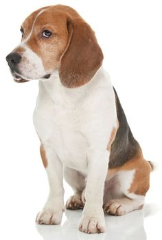 Beagle Information, Facts, Pictures, Training and Grooming