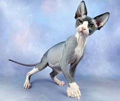 black and white hairless cat