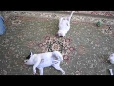"""From Huffington Post UK: Link to """"The Twist"""" (French Bulldog Style) and nice little article! (Click on Huffington Post link at top not video) #frenchbulldogs  The Moon Pieds"""