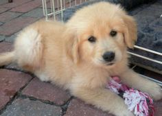 Roxy is an adoptable Golden Retriever Dog in Elk Grove, CA. This is Roxy, little amazing golden retriever puppy. 8 weeks old. She is very playful and VERY energetic. People gave her up to our rescue a...