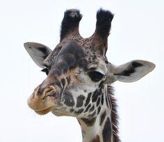 Masai Giraffe by bobosh_t #Giraffe