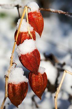 55+ фото Физалис - выращивание и уход http://happymodern.ru/55-foto-fizalis-vyrashhivanie-i-ukhod/ Даже холодной зимой физалис будет радовать своими яркими красками